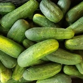 Pickling_Cucumbers