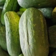 Pickling_Cucumbers2
