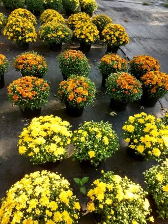 Yellow_Mums