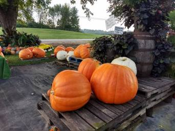 Giant_Pumpkins2