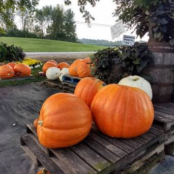 Giant_Pumpkins2