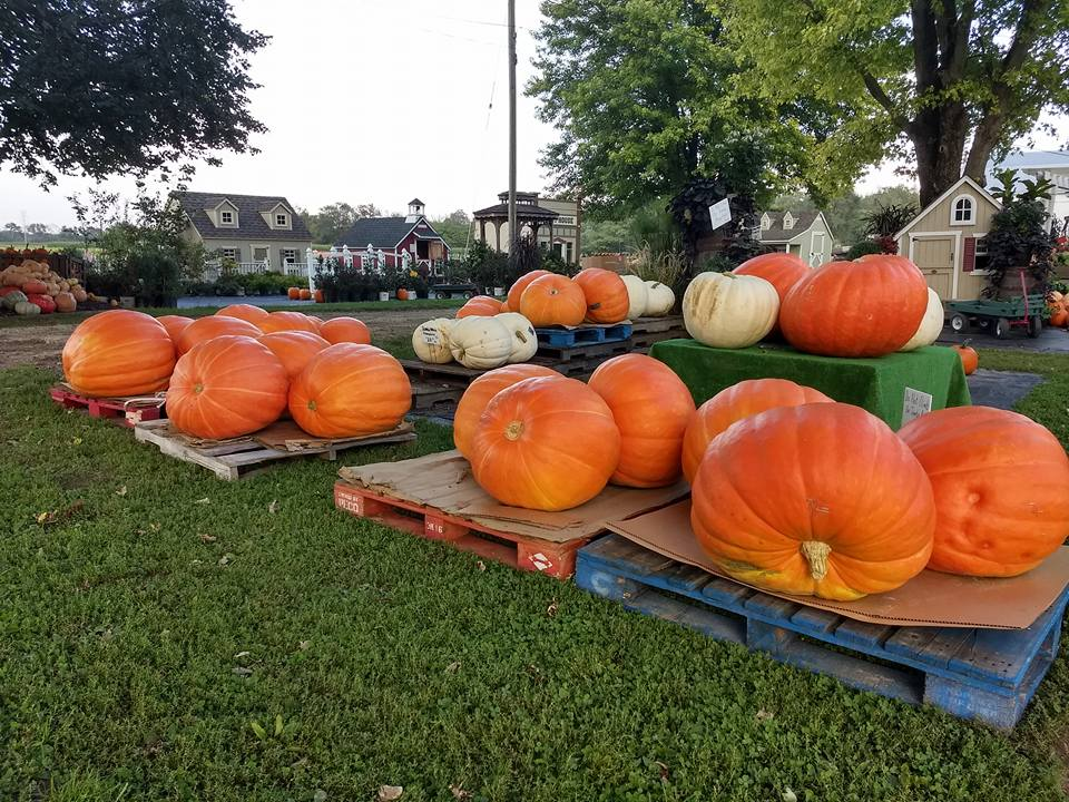 Giant_Pumpkins4