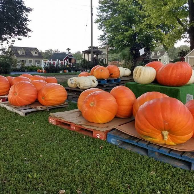 Giant_Pumpkins4