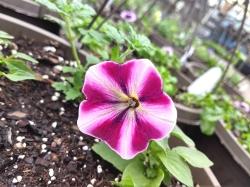 Pink_White_Petunia
